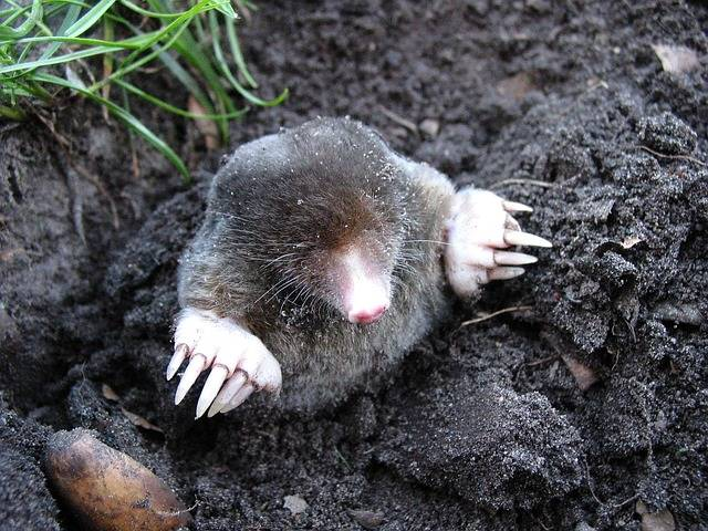 Mole Nature Animals - Free photo on Pixabay (660216)