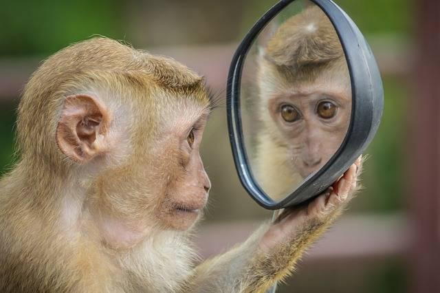 Monkey Mirror Stare - Free photo on Pixabay (690720)
