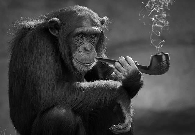 Smoking Monkey Primate - Free photo on Pixabay (690797)