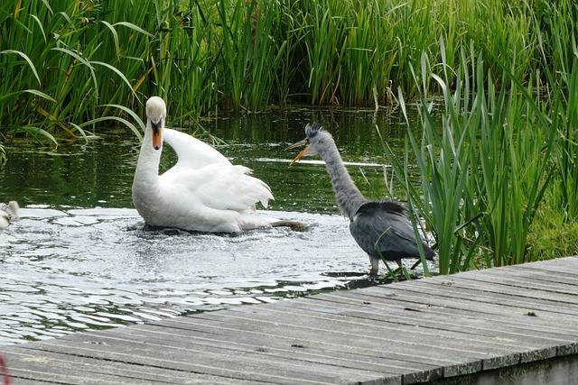 Swan Heron Quarrel - Free photo on Pixabay (702149)