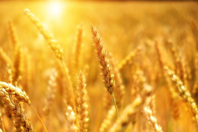 Wheat Grain Cornfield - Free photo on Pixabay (703822)