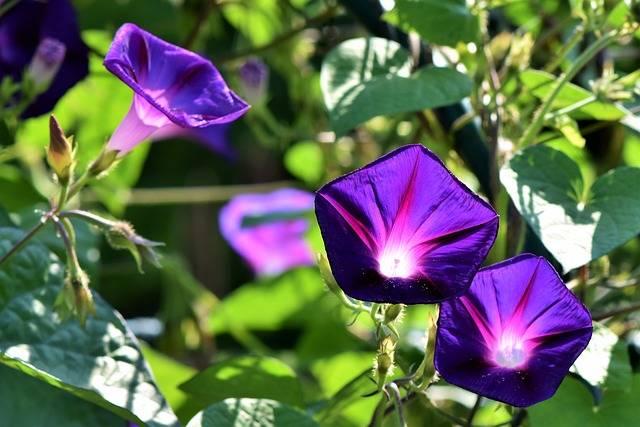 Superb Thread Morning Glory Wind - Free photo on Pixabay (704329)