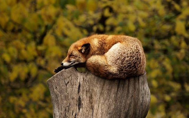 Fox Sleeping Resting - Free photo on Pixabay (712362)