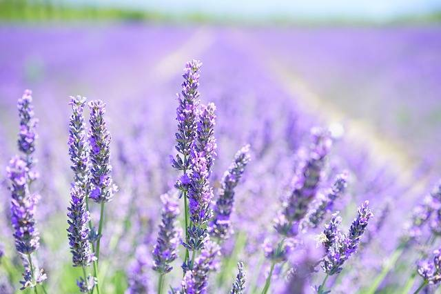 Lavender Blossom Purple - Free photo on Pixabay (724843)