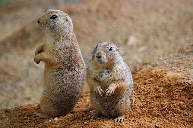 Prairie Dogs Rodents Couple - Free photo on Pixabay (724868)