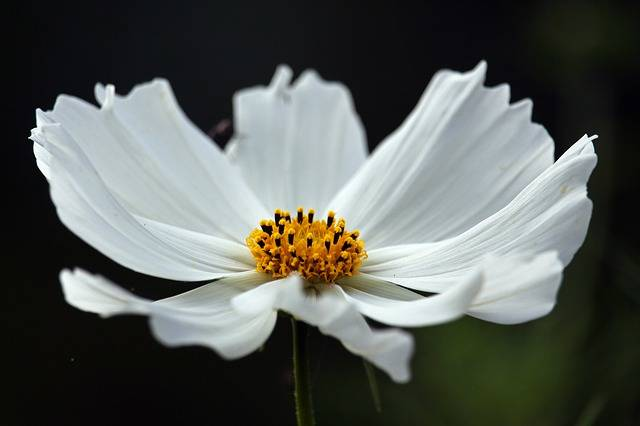 Cosmos White Beauty Cosmea - Free photo on Pixabay (725308)