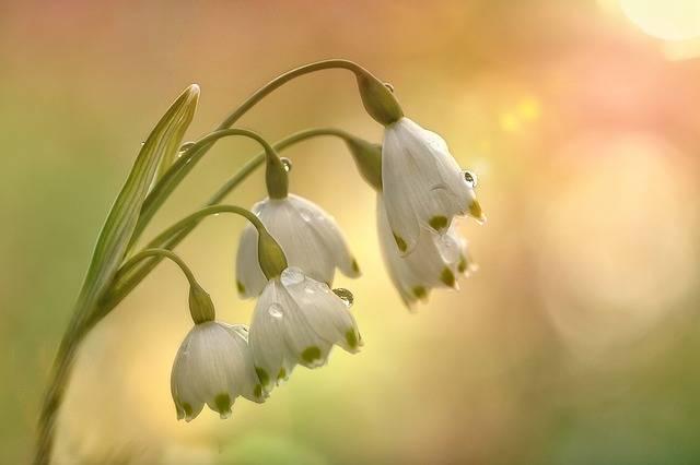 Fruehlingsknotenblume Spring - Free photo on Pixabay (727155)