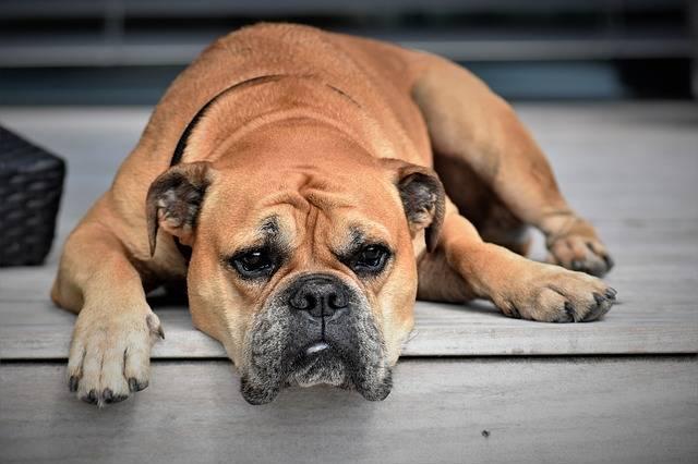 Dog Animal Continental Bulldog - Free photo on Pixabay (727557)