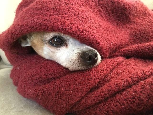 Chihuahua Dog Blanket - Free photo on Pixabay (727561)