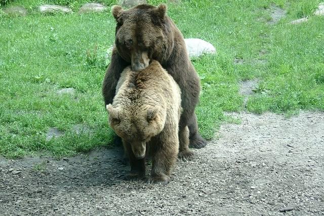 Bear Sex Pairing - Free photo on Pixabay (730930)