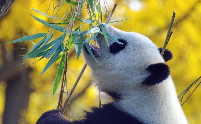 Panda Bear Mammal - Free photo on Pixabay (731494)