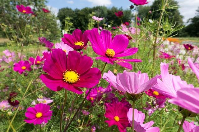 Cosmea Flowers Flower Bed - Free photo on Pixabay (731707)