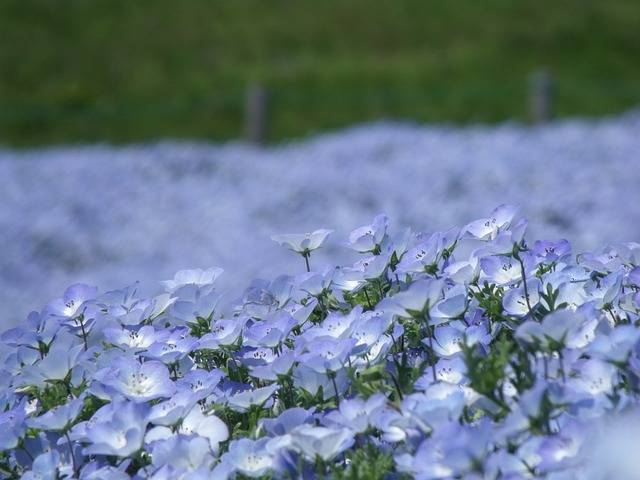 Nemophila Park Ibaraki Prefecture - Free photo on Pixabay (731710)