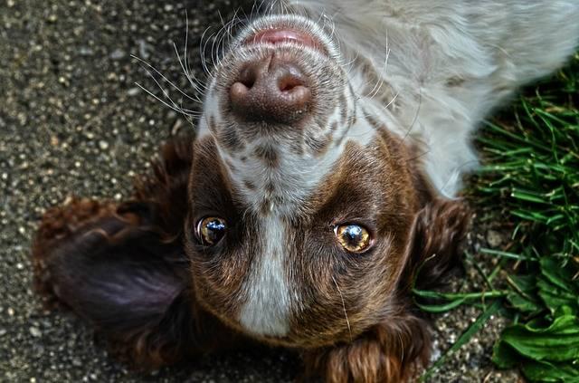 Dog Eyes - Free photo on Pixabay (735078)