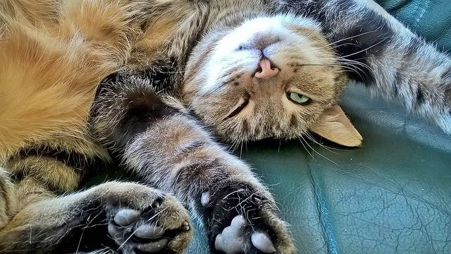 Cat Relaxation Concerns - Free photo on Pixabay (735195)