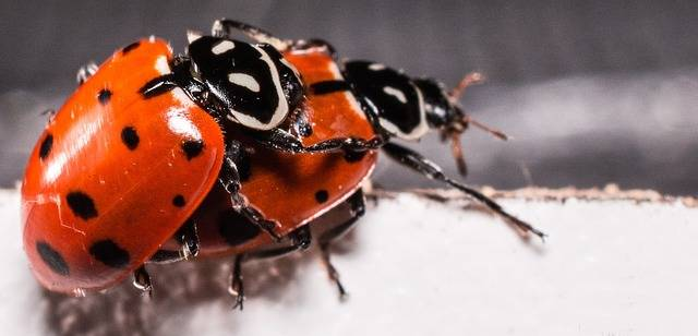 Ladybugs Mating Red - Free photo on Pixabay (736917)