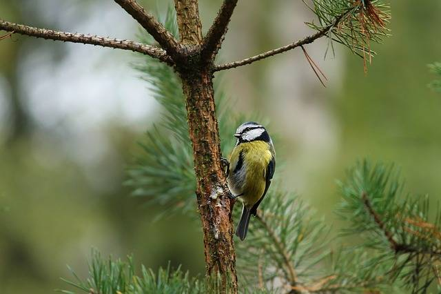 Tit Parus Major Tree Sitting On A - Free photo on Pixabay (737571)