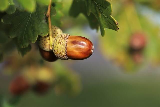 Nature Acorns Oak - Free photo on Pixabay (738344)