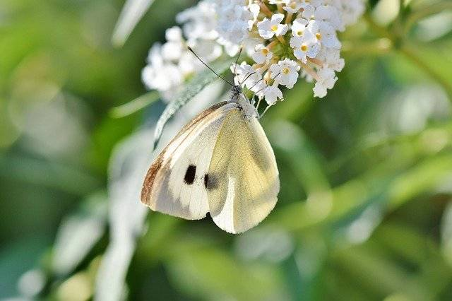 White Ling Butterfly Insect Flight - Free photo on Pixabay (741408)