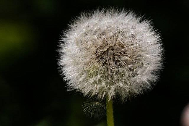 Dandelion Seeds Natural - Free photo on Pixabay (741584)