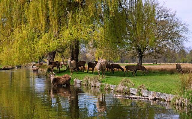 Bushy Park Deer Wildlife - Free photo on Pixabay (746212)