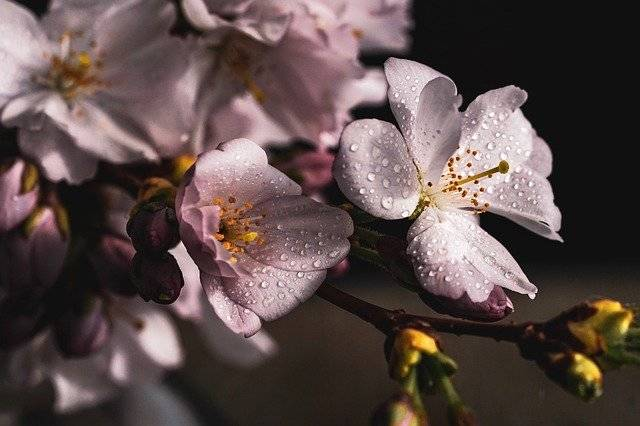Cherry Blossoms Branch Pink - Free photo on Pixabay (748309)
