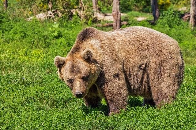 Bear Brown Animal - Free photo on Pixabay (748915)