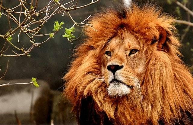 Lion Predator Dangerous - Free photo on Pixabay (749626)