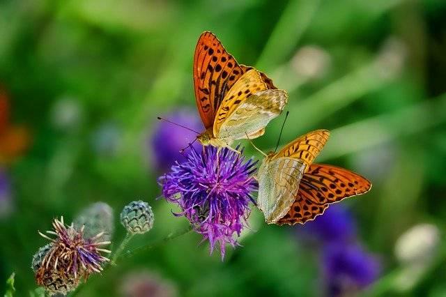Nature Butterfly Fritillary - Free photo on Pixabay (749628)