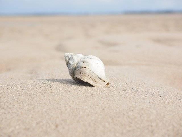 Whelk Snail Animal Buccinum - Free photo on Pixabay (750551)