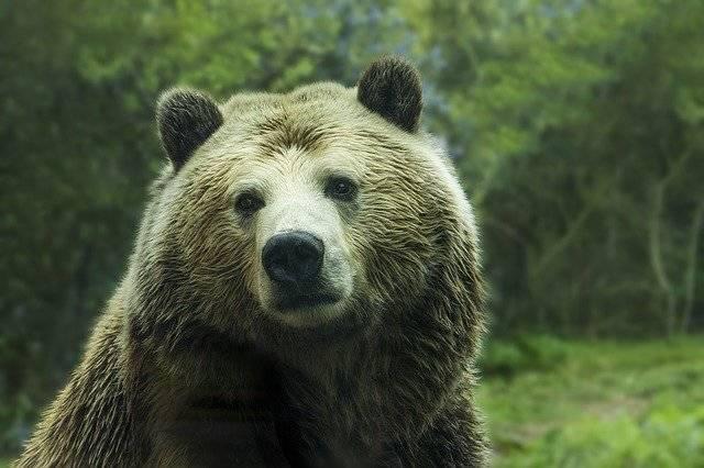 Bear Grizzly - Free photo on Pixabay (751143)