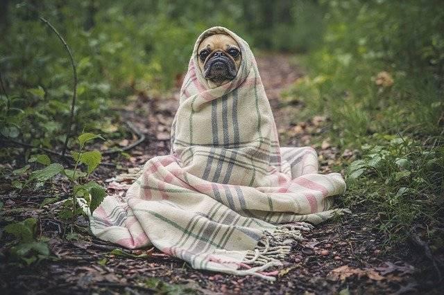 Pug Dog Pet - Free photo on Pixabay (751260)