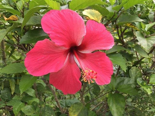 Hibiscus Flower Tropical - Free photo on Pixabay (752385)