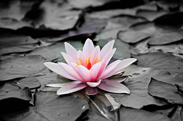 Water Lily Pink Aquatic Plant - Free photo on Pixabay (753773)