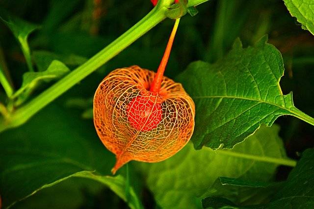 Chinese Lantern Plant Husk - Free photo on Pixabay (756017)