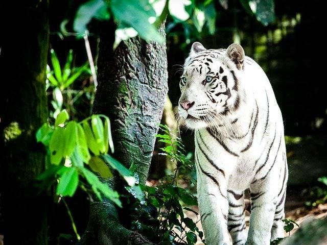Tiger White Wildcat - Free photo on Pixabay (757587)