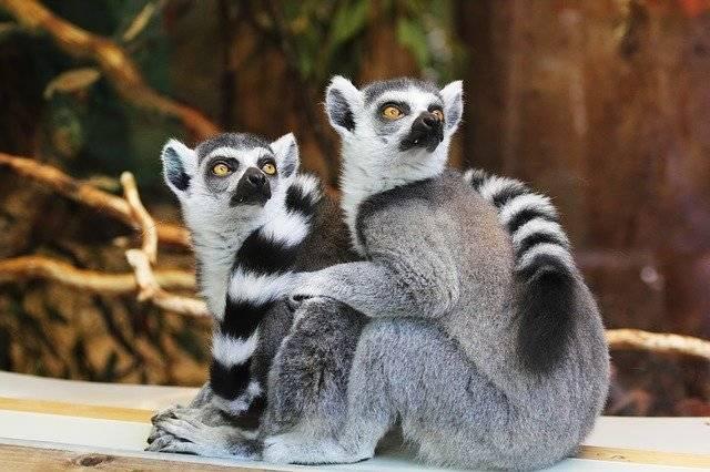 Animals Lemurs Wildlife - Free photo on Pixabay (757593)