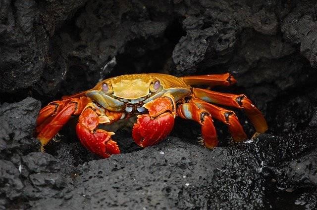 Crab Red Klippenkrabbe Grapsus - Free photo on Pixabay (758775)