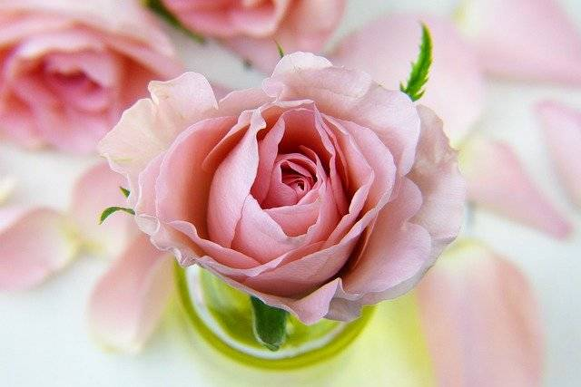 Rose Love Floral - Free photo on Pixabay (760024)