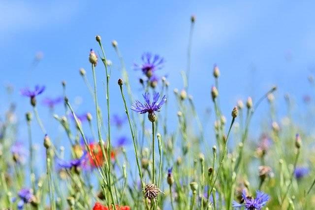 Alpine Cornflower Centaurea - Free photo on Pixabay (761465)