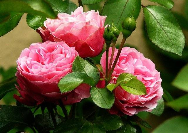 Roses Rose Flowers - Free photo on Pixabay (761495)