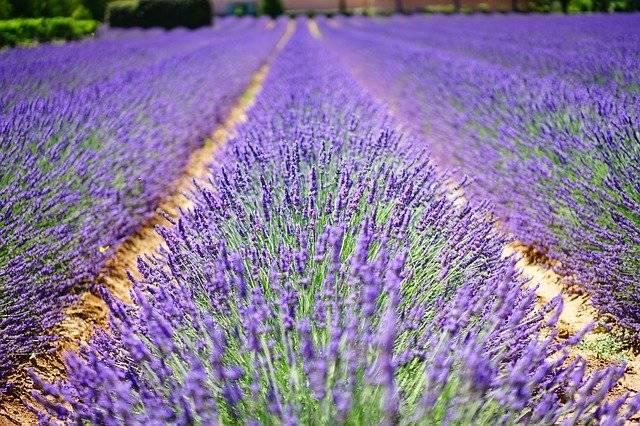 Lavender Flowers Blue - Free photo on Pixabay (761640)