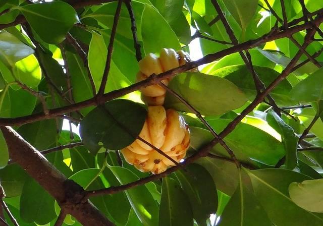 Garcinia Cambogia Malabar Tamarind - Free photo on Pixabay (761951)