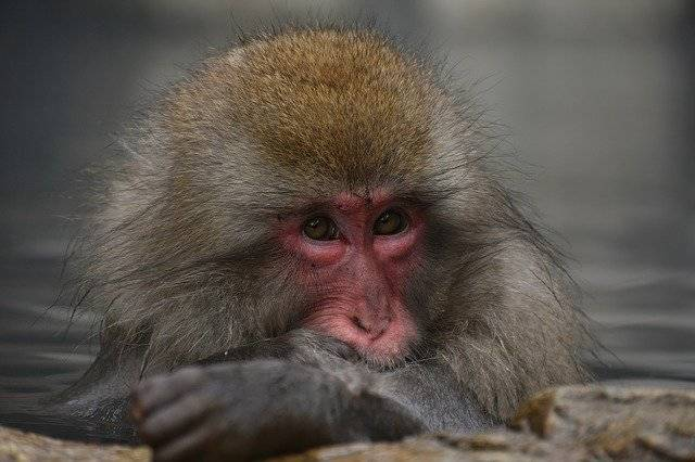 Animal Monkey Baby Japanese - Free photo on Pixabay (762034)