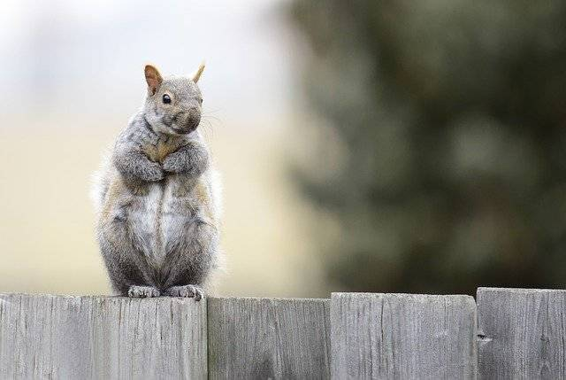 Gray Squirrel Animals Rodent - Free photo on Pixabay (762410)