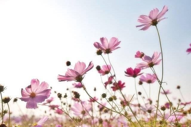 Flowers Field Petals - Free photo on Pixabay (762419)