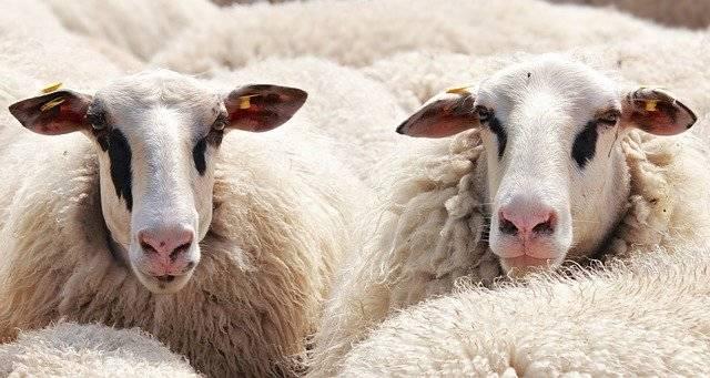 Sheep Flock Of Animals - Free photo on Pixabay (764513)