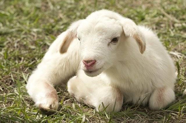 Lamb Farm Sheep - Free photo on Pixabay (764515)