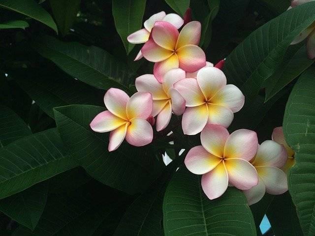 Frangipani Holiday Hawaii - Free photo on Pixabay (767931)