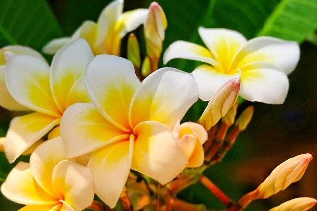 Flower Frangipani Plant - Free photo on Pixabay (768667)